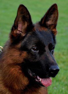 How to find a healthy german shepherd