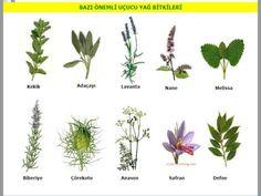 Image result for defne turkish herb