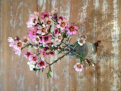 geralton wax flowers, desert flowers, hummingbee