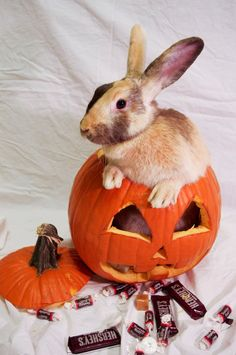 Bunny in a pumpkin. How cute!