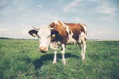 """Jarenlang was men in de veronderstelling dat melk erg goed was voor ons. Denk bijvoorbeeld aan de leus """"Melk de witte motor' of de reclame van Joris Driepinter. Het zou goed zijn door"""