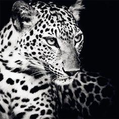 #Roar - ein #Leopard darf natürlich in keinem #Dschungel fehlen