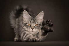 This Guy Takes The Most Epic Photos Of Maine Coon Cats You've Ever Seen