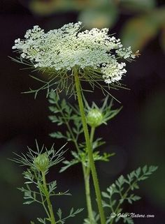 QUEEN ANNES LACE Bishops Flower Daucus Carota Wildflower 30 Biennial Seeds -- You can find out more details at the link of the image. Queen Anne's Lace Flowers, White Flowers, Beautiful Flowers, Exotic Flowers, Yellow Roses, Purple Flowers, Pink Roses, Meadow Garden, Moon Garden