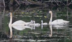 swans.jpg (1280×753)