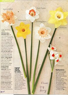 (Midwest Living 4/2010) Daffodils: Well-drained soil, add handful of sand at the bottom of planting holes to aid drainage, too much moisture can cause bulb rot, full-sun to light shade, don't trim leaves after blooming as they provide growing power for next year, divide when flowers get smaller if you notice one bulb becoming a clump of smaller blooms, divide every 4-5 years, mulch bulbs with layer of shredded bark or straw or pine straw to regulate soil temperature, www.daffodilusa.org, Apricot
