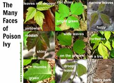Brushing up on my poison ivy identification for the summer!