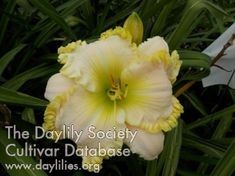 Daylily Summer Pearls (Bell-T. Day Lilies, Iris, Beautiful Flowers, Bloom, Exterior, Pearls, Summer, Growing Up, Summer Time