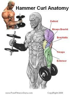 hammer curl anatomy...and that is why I hammer curl instead of normal bicep curls