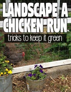 Plants For Chickens, Raising Backyard Chickens, Urban Chickens, Keeping Chickens, Pet Chickens, Backyard Farming, Chicken Coop Run, Chicken Garden, Backyard Chicken Coops
