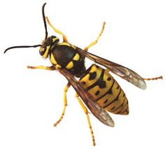 FAQs about Yellow Jackets: Gardener's Supply