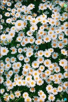 Wall Paper Floral Birds Ideas For 2019 Wallpaper Iphone Cute, Aesthetic Iphone Wallpaper, Aesthetic Wallpapers, Daisy Wallpaper, Flower Background Wallpaper, Flower Backgrounds, Amazing Flowers, Beautiful Flowers, Natur Wallpaper
