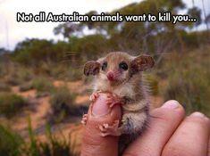 A Cute Western Pygmy Possum #australiananimals