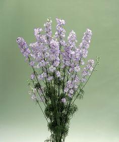 Buy Delphinium consolida, Cannes Series Online from Geoseed Delphinium, Violets, Cannes, Blues, Plants, Delphiniums, Planters, Pansies, Plant