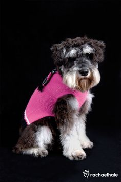 Bentleigh (Miniature Schnauzer) - Pink is the new black this season  (pic by Rachael Hale)