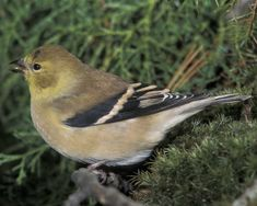 American Goldfinch | Audubon Field Guide  arrived back 3-20-2015 southern Wisconsin