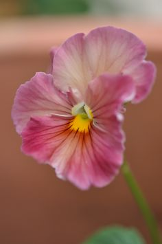 Delicate Pink pansy