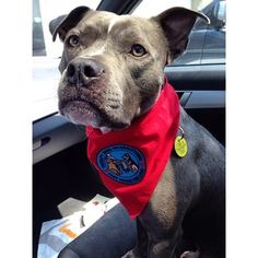 The Stig is a registered therapy dog from Cleveland.   5 Adorable Pit Bulls Who Are Changing Minds