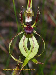 Arachnorchis Caladenia corynephora Club-lipped Spider Orchid