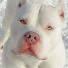 Do you love Pitbull? If yes read the types of Pitbull Breeds that are really popular right now. This list of Pitbull breed is very famous because of their extra ordinary characteristics Cute Puppies, Cute Dogs, Dogs And Puppies, Doggies, Chihuahua Dogs, Baby Animals, Funny Animals, Cute Animals, Big Dogs