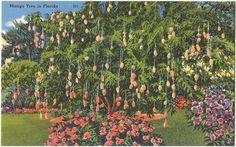 Mango tree in Florida