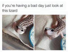 Cute leopard gecko to raise a smile