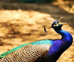 FURESA �� El Salvador ���� #Siguelesv - Shot this image with: #canont6i - Location: FURESA Jayaque, El Salvador #zoo #Peacock  #furesa #natural #great #travel #photographer #exploring #elsalvador #elsalvadorimpresionante #nature #fromwhereistand #landscape #elsalvadorimpressive #instagood #instalike#photoofthedays #happy #photo #instadaily  #GoInstaSv #ExploringSv #instasivar #4月3日愛 http://tipsrazzi.com/ipost/1514771668698215771/?code=BUFjM6clTVb