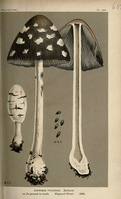 Illustrations of British Fungi (Hymenomycetes), from the Handbook of British Fungi by Mordecai Cubitt Cooke, published by Williams and Norgate, London, 1881-91