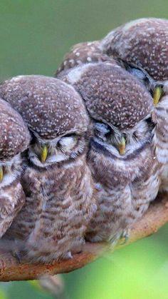 Sleeping owlets
