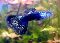 Neon Blue Guppy