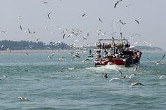 Pêcheur de crevettes en Baie de Somme