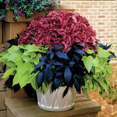 A combination of Coleus and 2 Sweet Potato varieties in plant form. 2 plants each of Coleus Red Ruffles, Sweet Potato Blackie, and Sweet Potato Margarite. Container Flowers, Container Plants, Container Gardening, Lawn And Garden, Garden Pots, Potato Vine Plant, Beautiful Gardens, Beautiful Flowers, Coleus