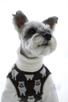 This miniature Schnauzer is looking good in his sweater and turtleneck shirt.  #puppied PP: Miniature Schnauzer by Teruomi Itou