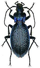 Carabidae Carabus intricatus (Linn, 1761) (Germany)