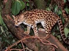 Image from http://www.inriodulce.com/images/Margay%20in%20Tree.jpg.
