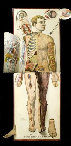 "Life-Size Vintage Anatomical Chart, United States, 1885-1900 // 'White's Physiological Manikin' is a life-size male anatomical chart. Foldout sections illustrate tissue groups and sectional views of the body and these peel away to reveal internal organs and muscles. The chart may have been used at traveling anatomy shows open to the public, where the audience was invited to ""Know Thyself"" to take better care of themselves and their families."