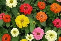 Resultado de imagen para zinnias de colores