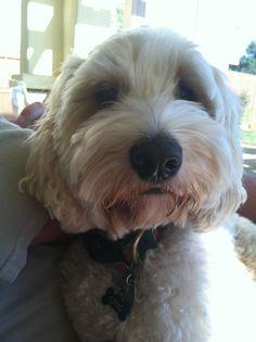 Otis!! The love able labradoodle