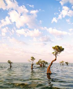 Dancing mangroves at Walakiri Beach, Sumba Island, Indonesia