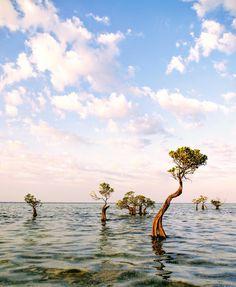 Dancing mangroves at Walakiri Beach, Sumba Island, Indonesia