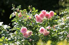 Rosiers buissonnants, plusieurs variétés qui allient le charme de la rose ancienne (nombreux pétales) avec les couleurs actuelles plus vives. Elles sont souvent parfumées. ©Arnaud Childeric Plantation, Floral Wreath, Wreaths, Flowers, Plants, Gardens, Beautiful Roses, Rose Trees, Places