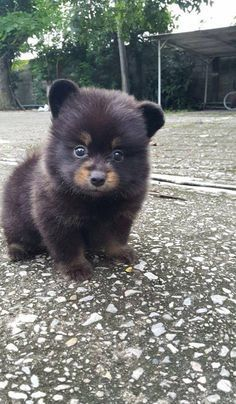 Have yourself a whittle bear cub. Oh so cute!