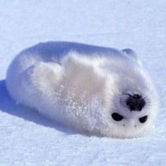 awwww whats cuter than that? Baby Animals - Picture of a white baby seal Baby Harp Seal, Baby Seal, Cute Baby Animals, Animals And Pets, Funny Animals, Beautiful Creatures, Animals Beautiful, Cute Seals, Funny Seals