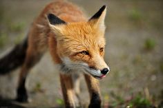 Dinner time Fox Face, Red Fox, Tamaskan, Drawings, Prints, Painting, Dinner, Animales, Foxes