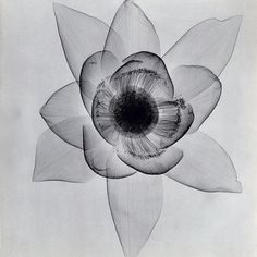 X-ray of a water lily #waterlily