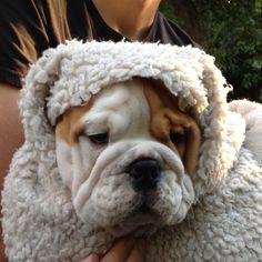 Snuggly #Bulldog