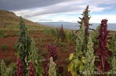 Quinoa: This site has information on how to grow quinoa in your garden. Also has cooking, storage tips and bread recipes.