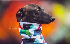 Italian Greyhound clothing #italiangreyhound #italiangreyhoundclothing #charcikwłoski #dogwear #dogclothes
