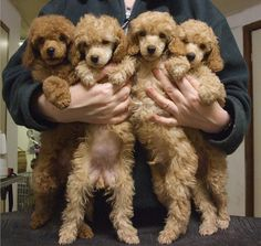 oodles of poodle puppy hugs