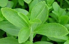 Stevia, lang verboden zoet